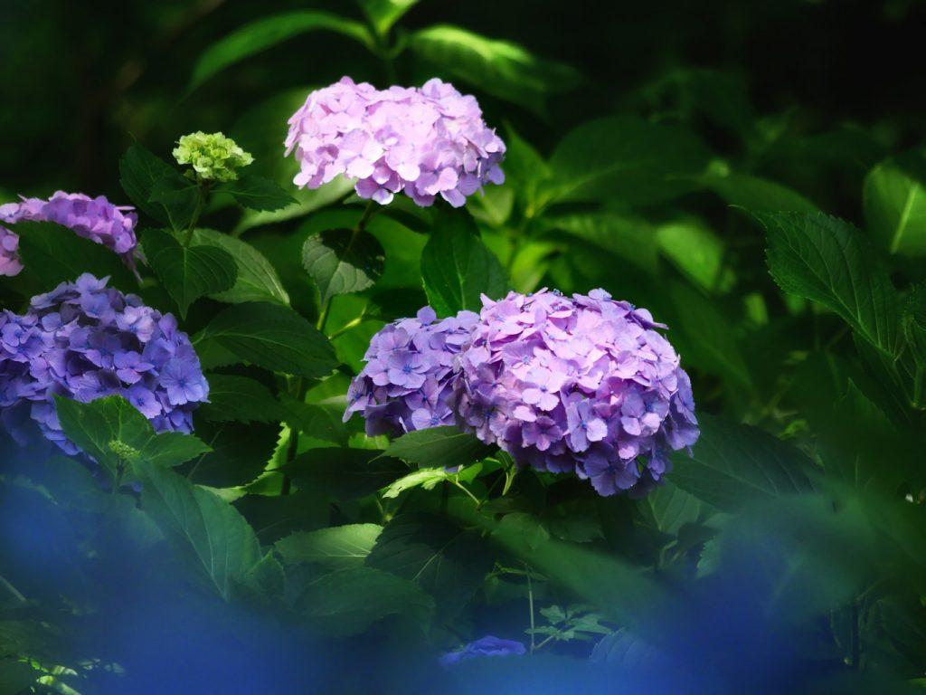 一ノ倉邸 紫陽花 | 岩手・盛岡の観光(Morioka・Iwate)