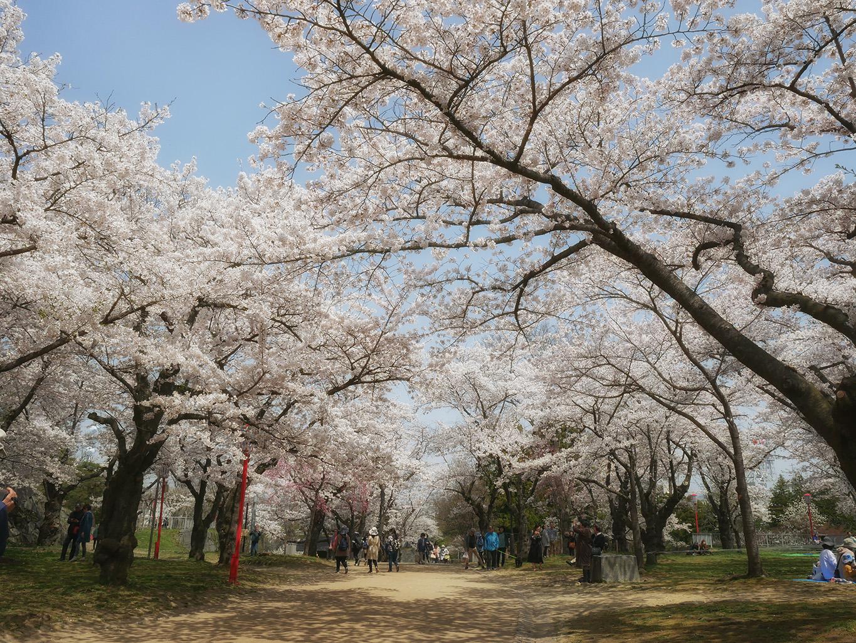 岩手公園(盛岡城跡公園) の桜 | 岩手・盛岡の観光(Iwate・Morioka)