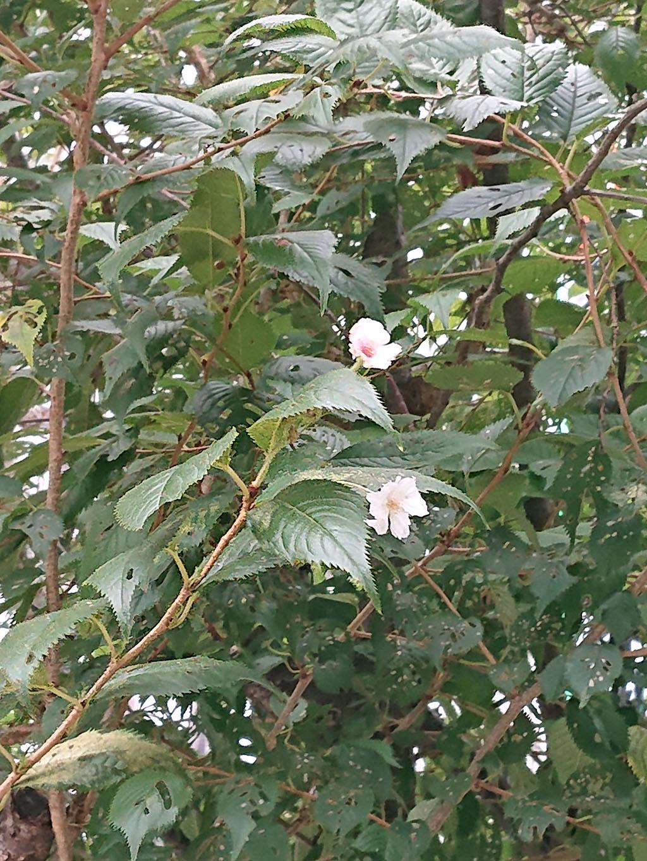 盛岡材木町 シキザクラ(四季桜) | 岩手・盛岡の観光(Iwate・Morioka)