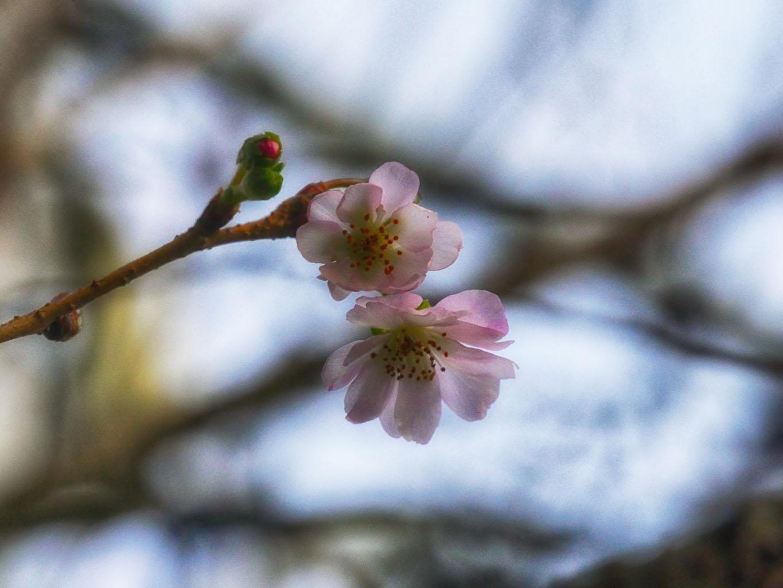 盛岡材木町 シキザクラ | 岩手・盛岡の観光(Iwate・Morioka)