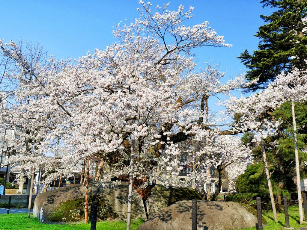 〔岩手県・盛岡市〕石割桜 国の天然記念物 Ishiwarizakura (The Rock-Splitting Cherry Tree)| 岩手・盛岡の観光(Iwate・Morioka)