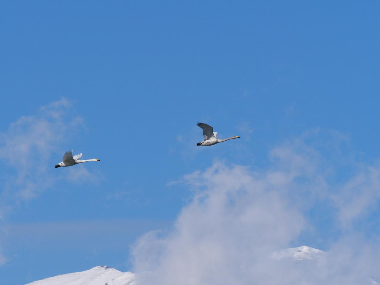 盛岡の白鳥飛来地<高松の池>| 岩手・盛岡の観光(Morioka・Iwate)