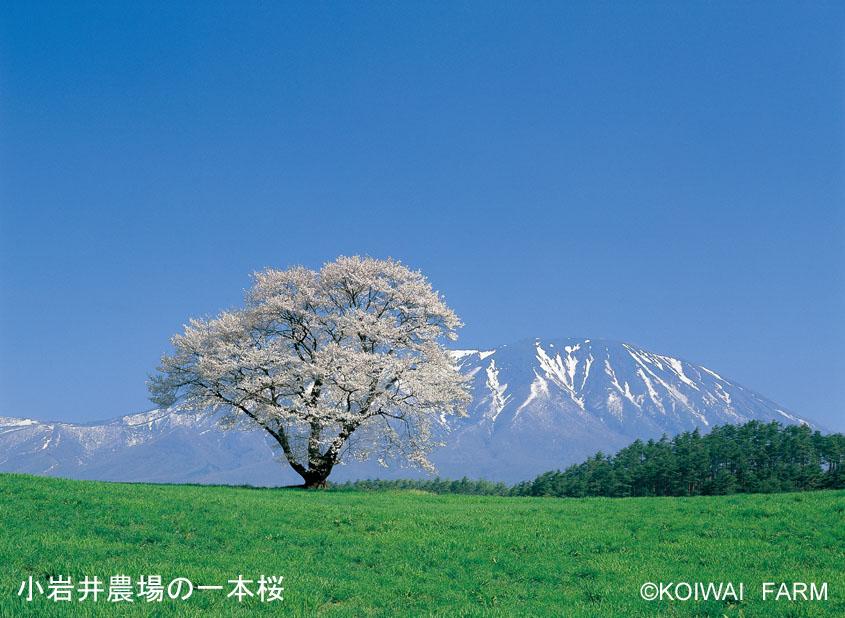 小岩井農場 一本桜(春)コピーライト入り