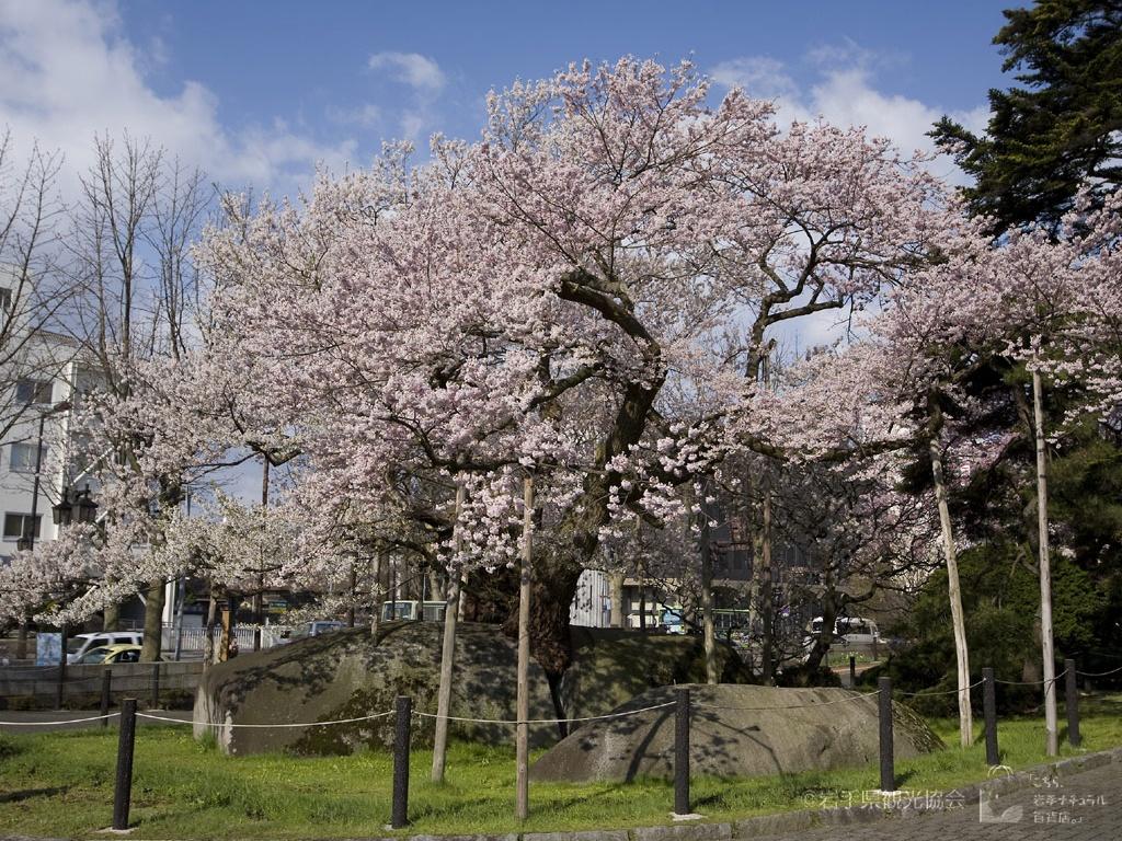 岩手ナチュラル 石割桜2 4月