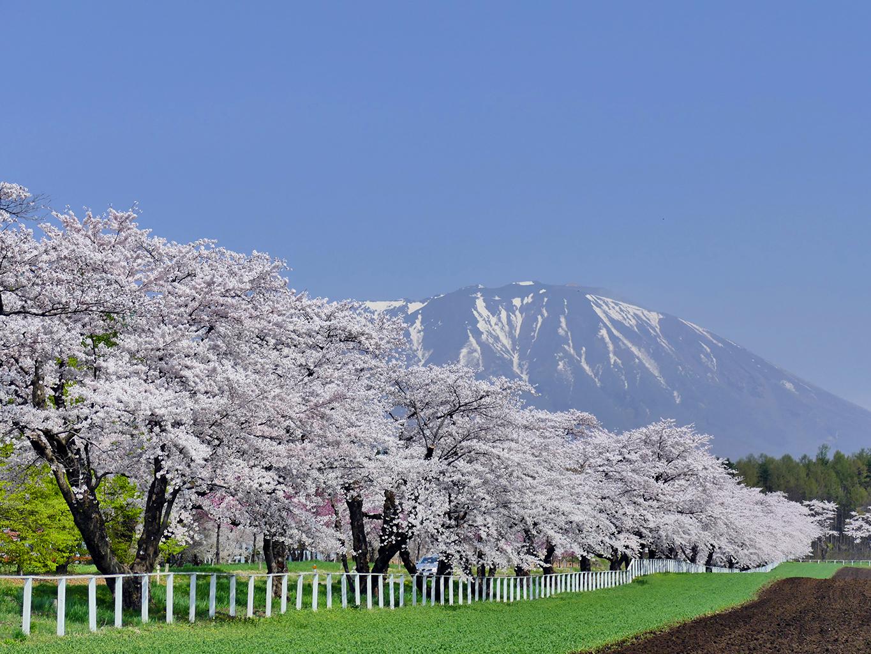 P1060420 1365 小岩井 県道沿いの桜並木