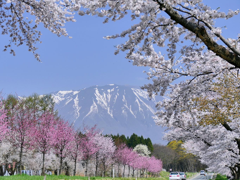 P1060428 1365 小岩井 県道沿いの桜並木