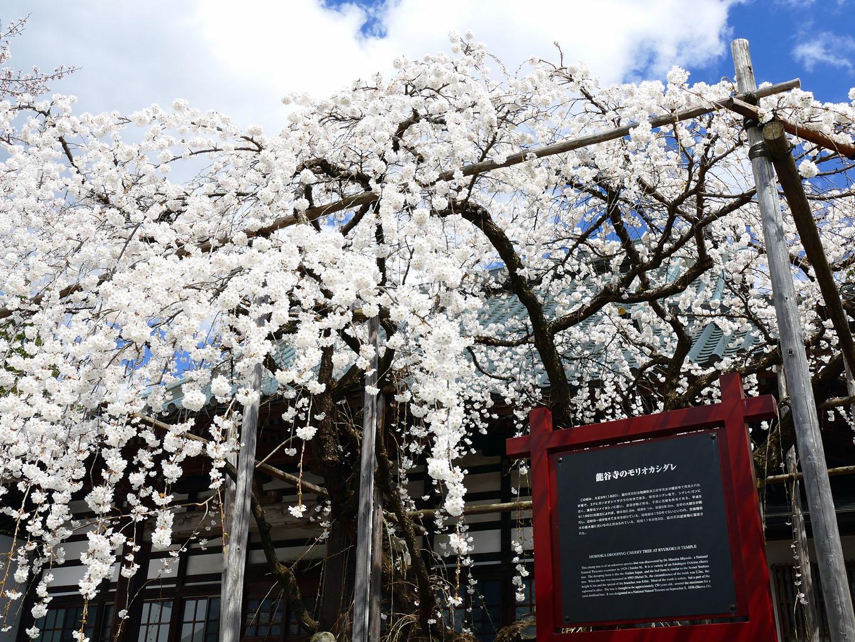 龍谷寺のモリオカシダレは国の天然記念物 | 岩手・盛岡の観光(Iwate・Morioka)