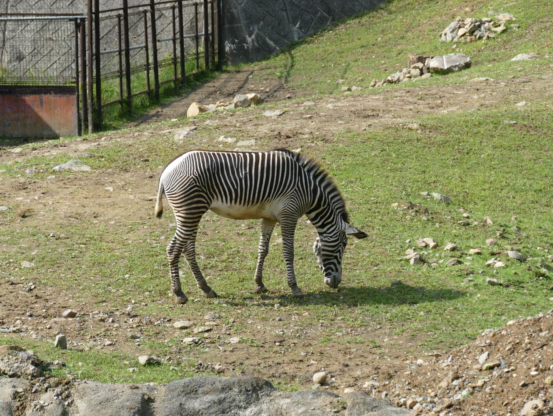 動物公園 シマウマ