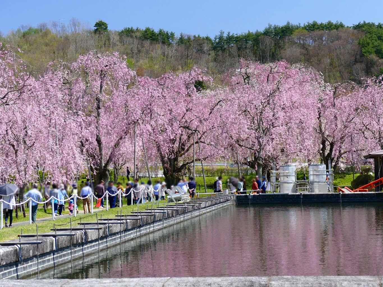 米内浄水場のシダレザクラ | 岩手・盛岡の観光(Iwate・Morioka)