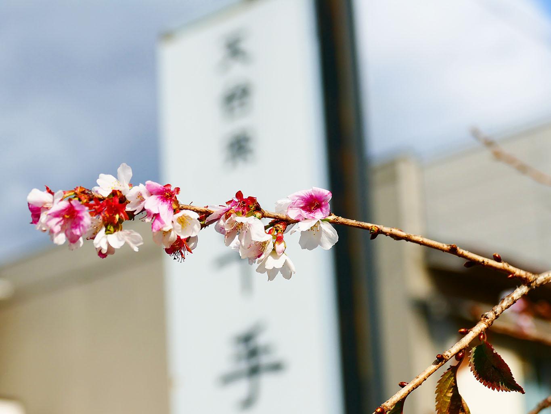 春と秋の2回咲くシキザクラ 千手院の桜 | 岩手・盛岡の観光(Morioka・Iwate)